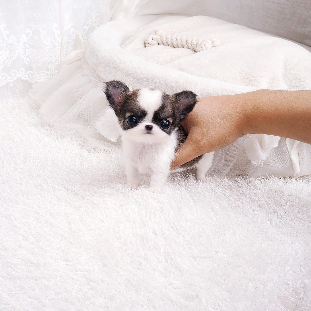 Cookie Micro Chihuahua for Sale