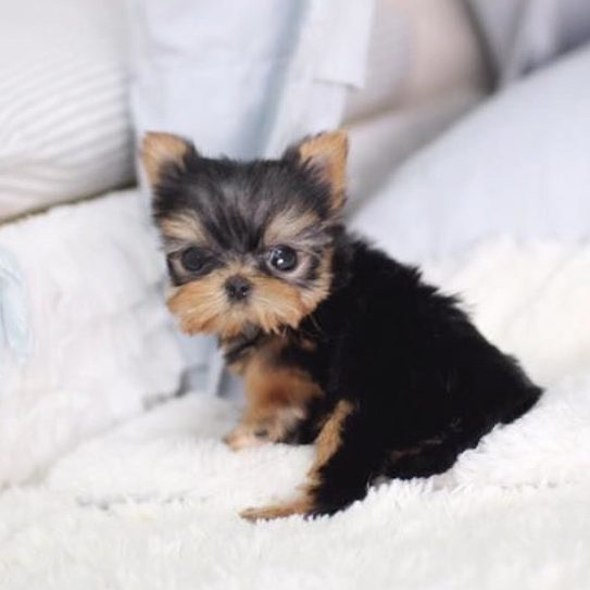 Elias Micro Yorkie for Sale