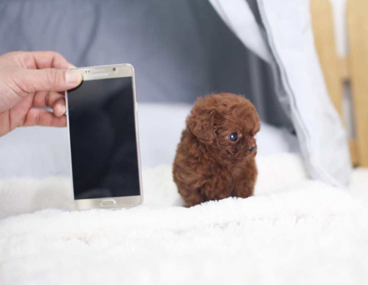 Aria Micro Poodle for Sale