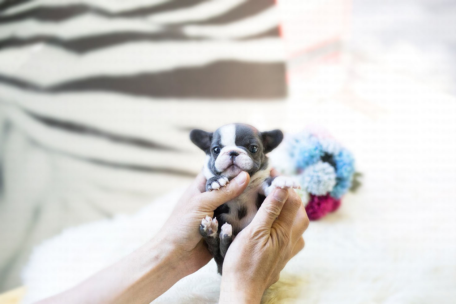 Levi Teacup French Bulldog for Sale