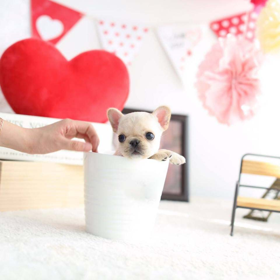 Fenty Teacup French Bulldog for Sale
