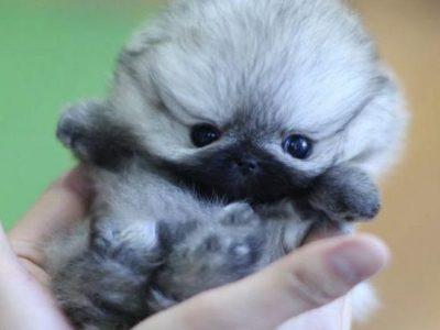Isabella ClassicMicro Pomeranian