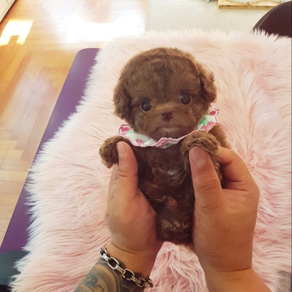 Dash Micro Poodle for Sale