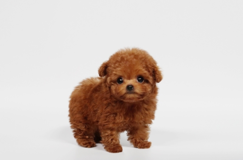 Noah Micro Poodle for Sale