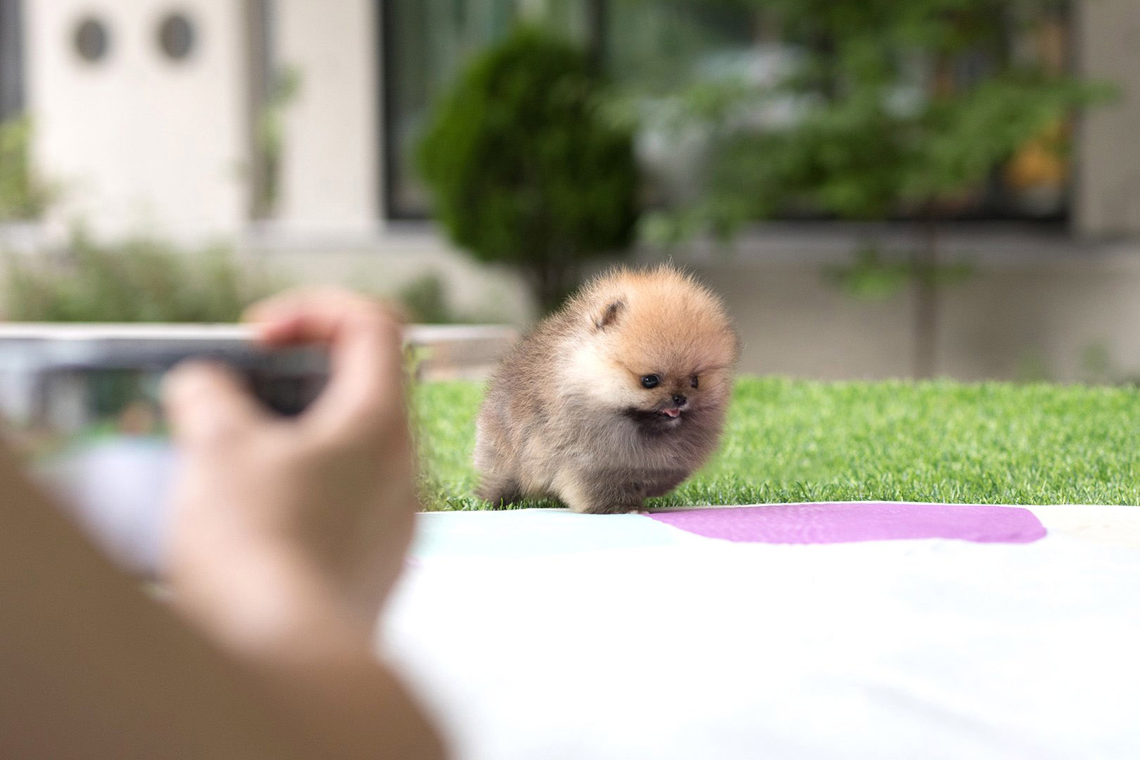 Benji Micro Pomeranian for Sale
