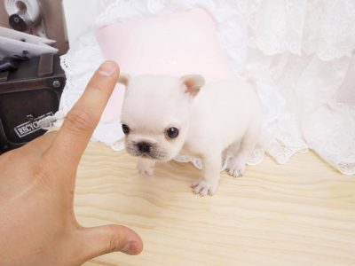 Lilian WhiteTeacup French Bulldog