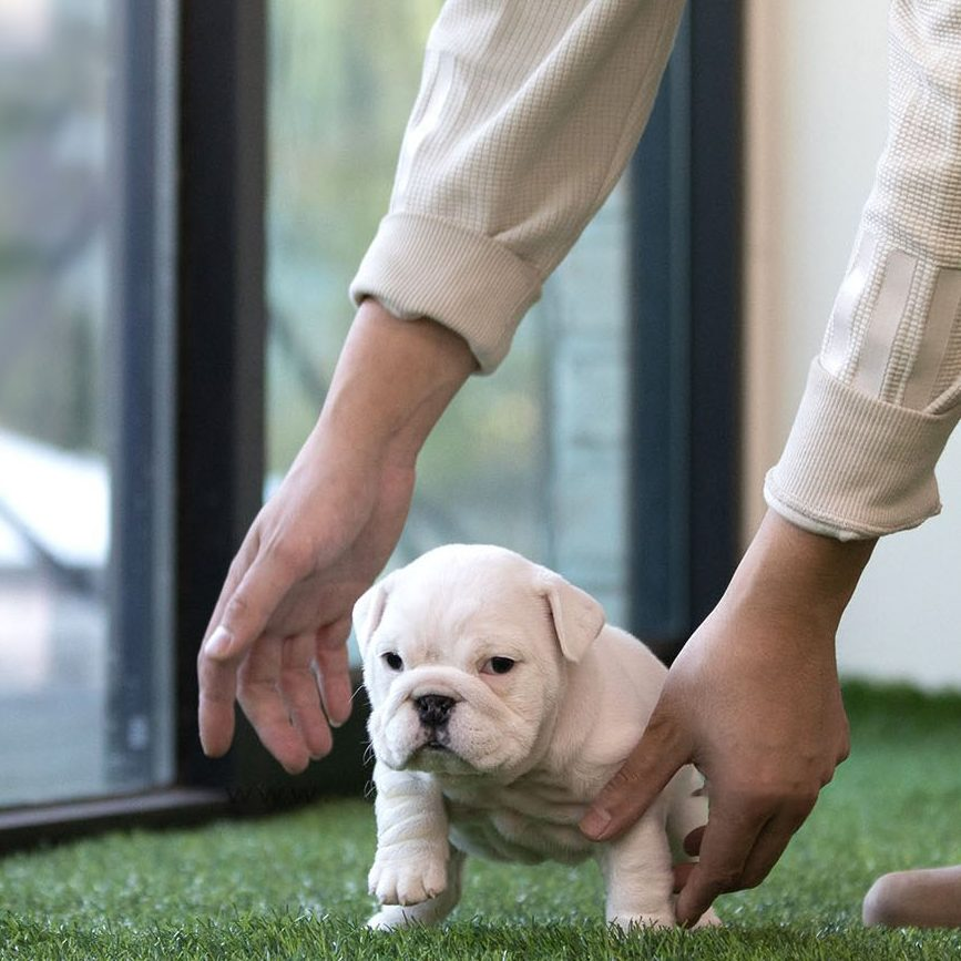 Michelin Teacup English Bulldog for Sale