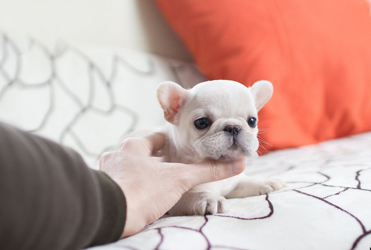 Molly Teacup French Bulldog for Sale