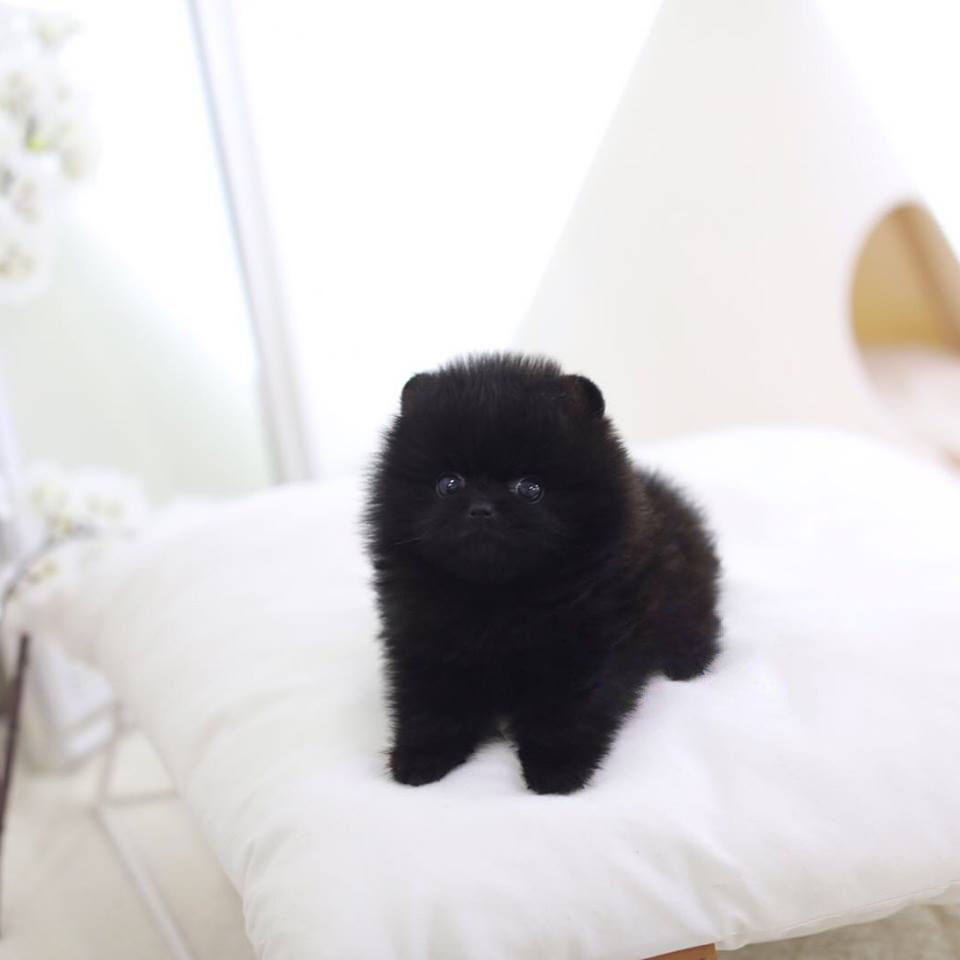 Parker Micro Pomeranian for Sale