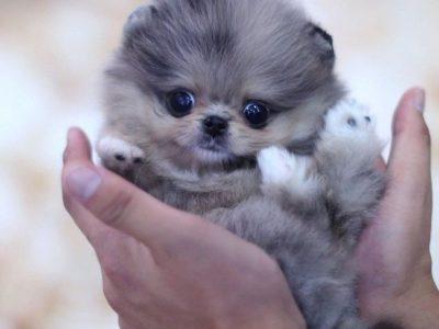 Lexi Blue MerleMicro Pomeranian