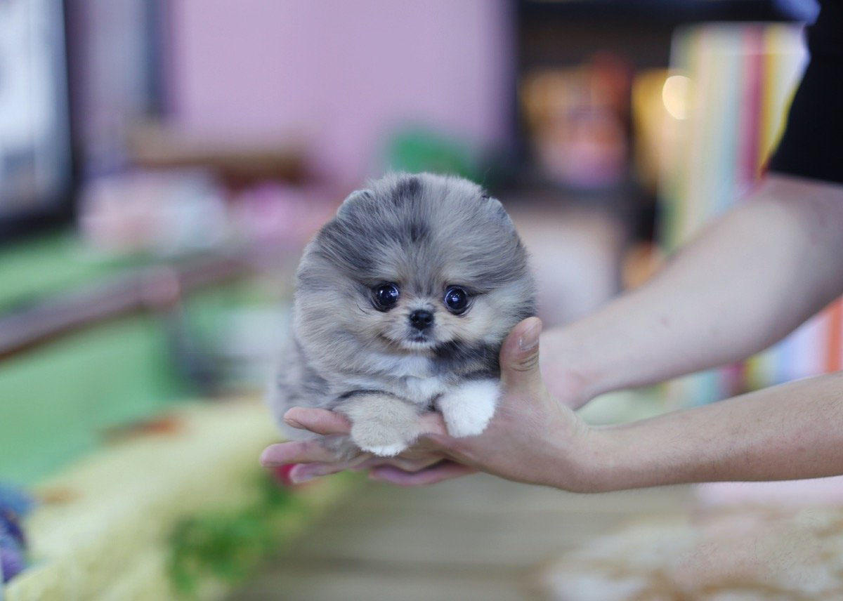 Lexi Micro Pomeranian for Sale