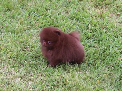 Charlotte ChocolateMicro Pomeranian