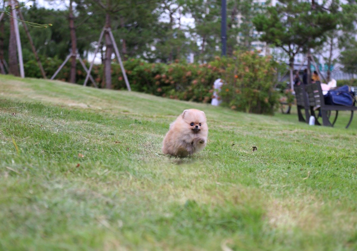Avery Micro Pomeranian for Sale