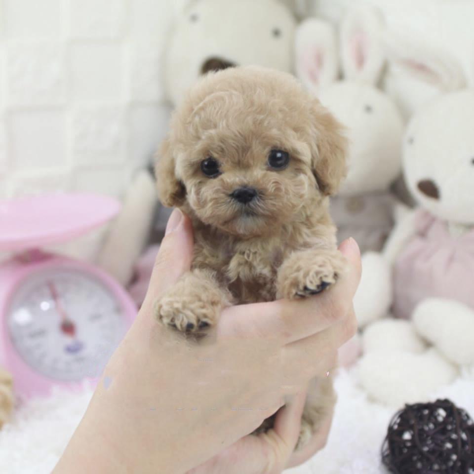 Peanut Micro Poodle for Sale