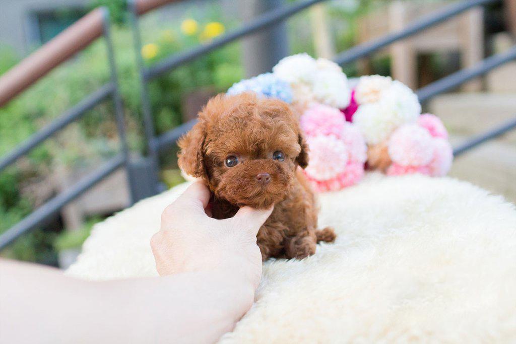 Biggie Micro Poodle for Sale