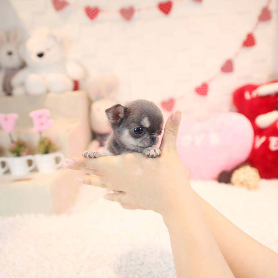 Crystal Micro Chihuahua for Sale