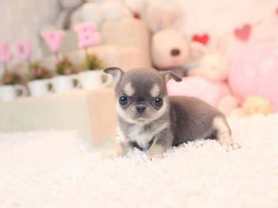 Crystal BlueMicro Chihuahua