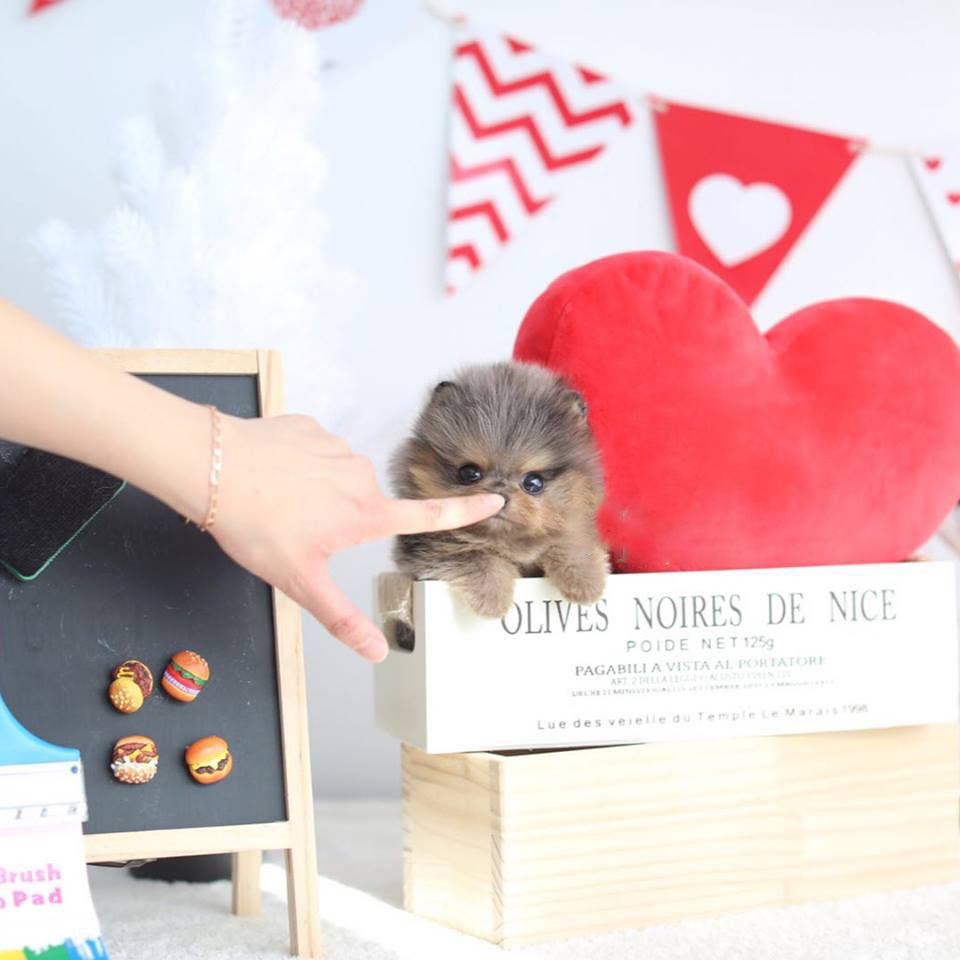 Nene Micro Pomeranian for Sale