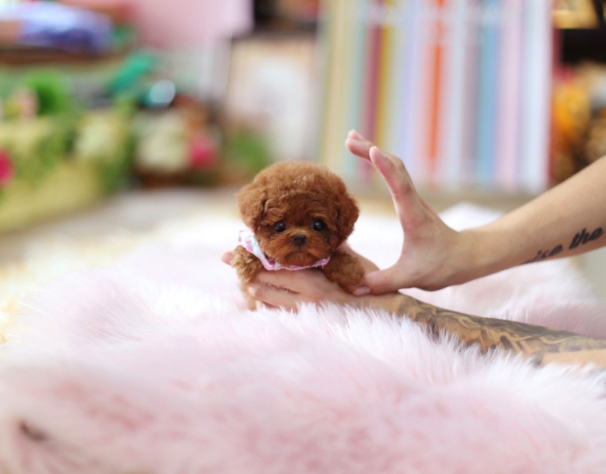 Ruby Micro Poodle for Sale