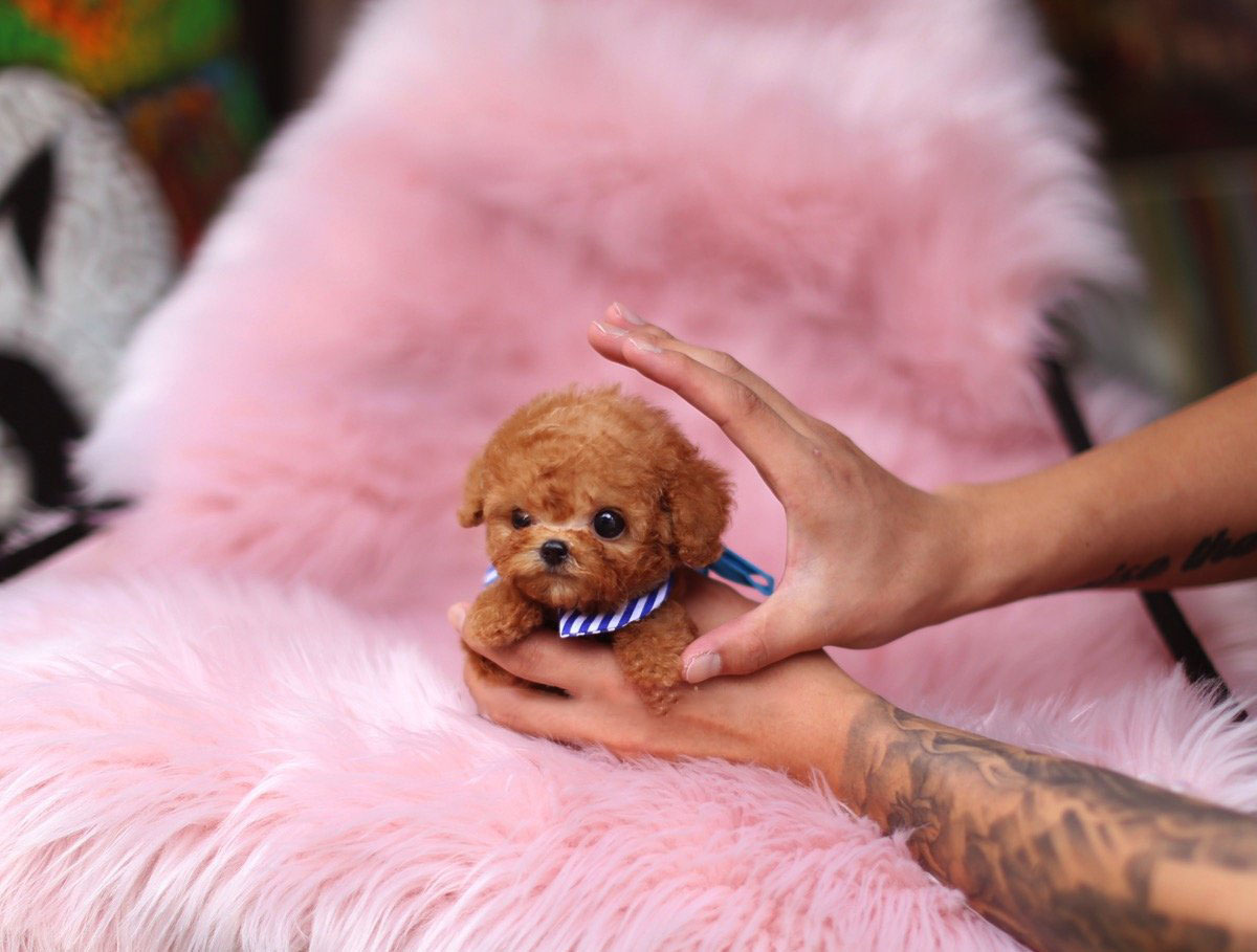 Kalvin Micro Poodle for Sale