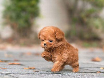 James RedMicro Poodle
