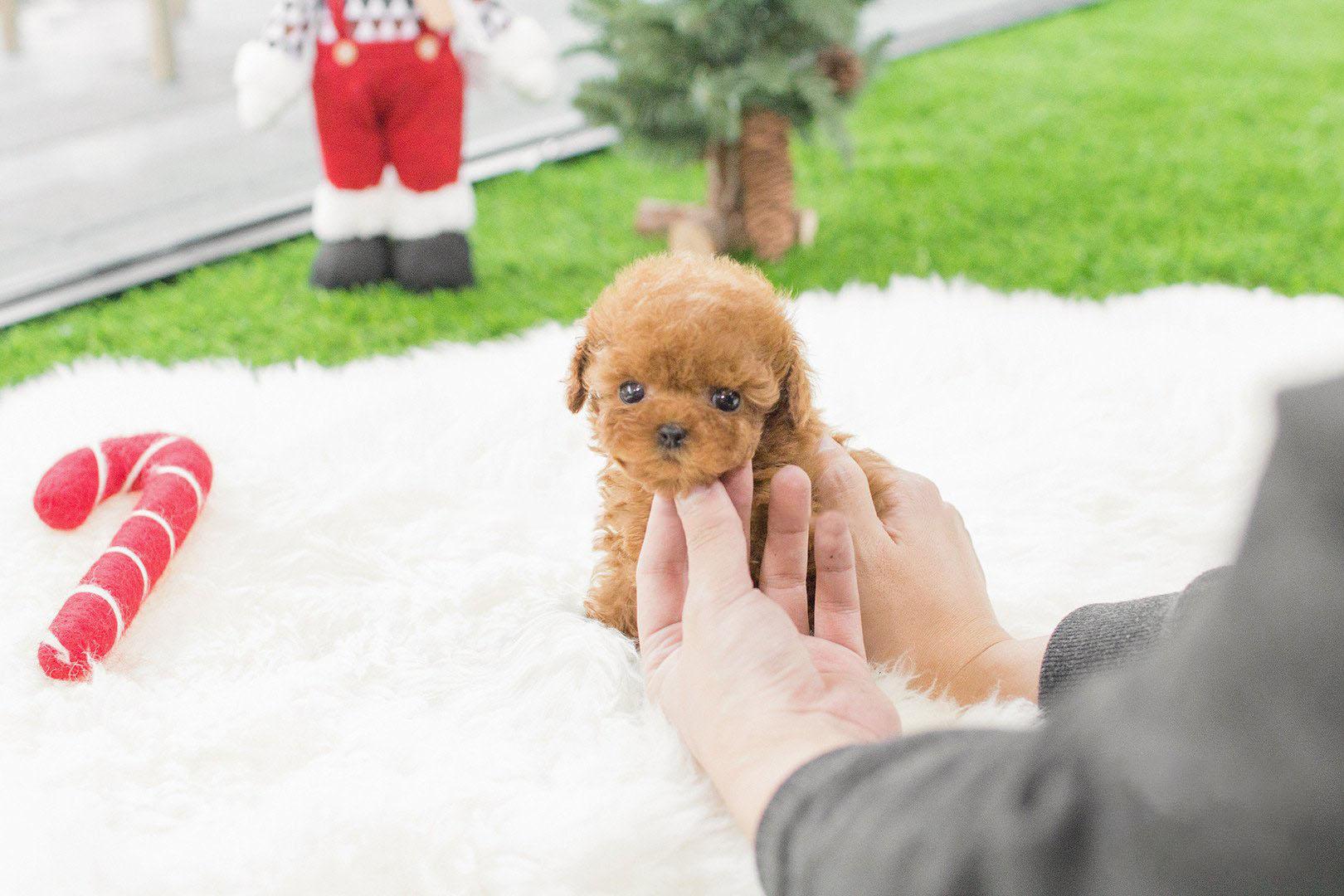 Kim Micro Poodle for Sale