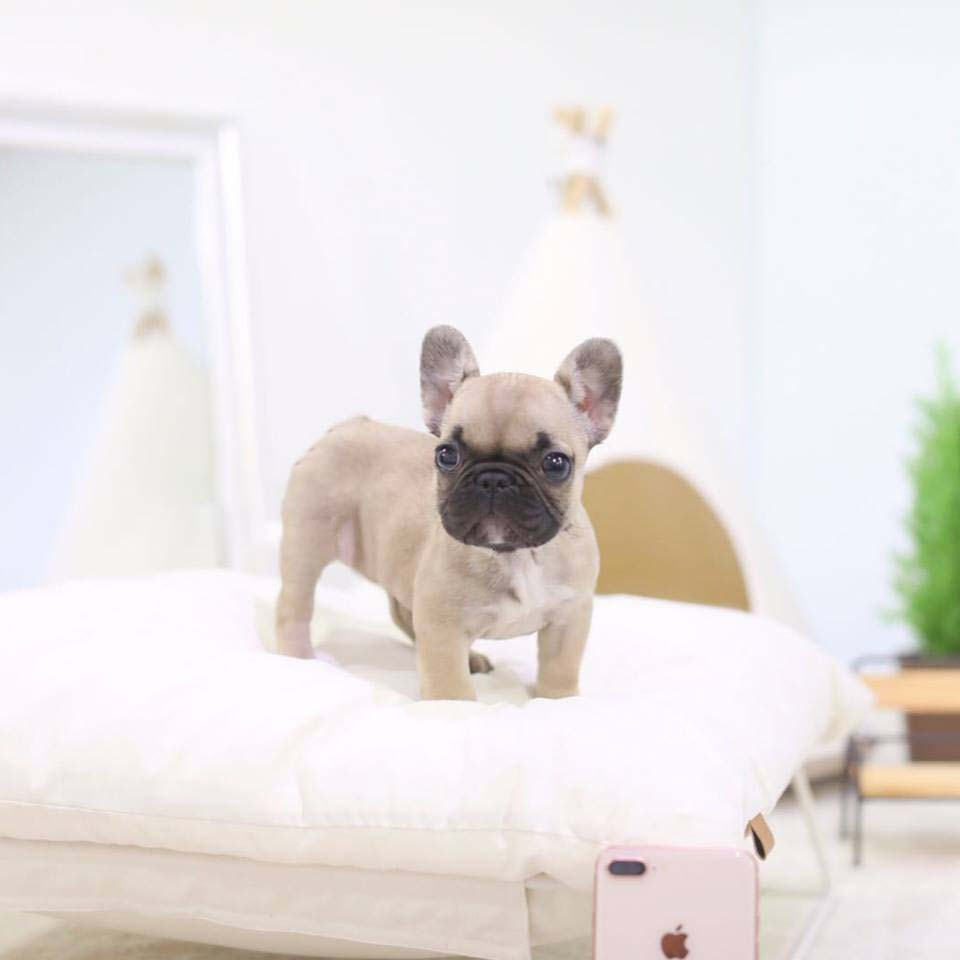 Fabio Teacup French Bulldog for Sale