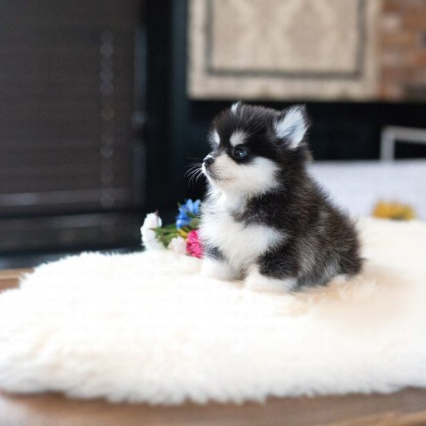 Gucci Teacup Pomsky for Sale