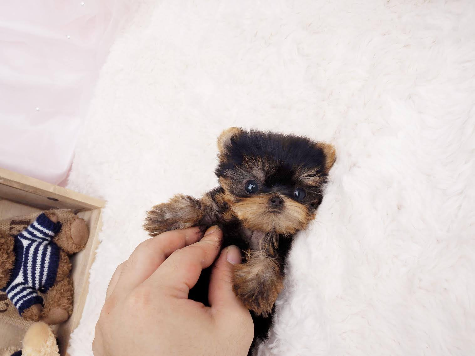 Ashley Micro Yorkie for Sale