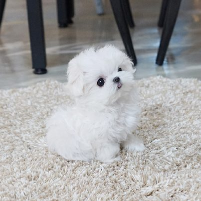 Lily Micro Maltese for Sale