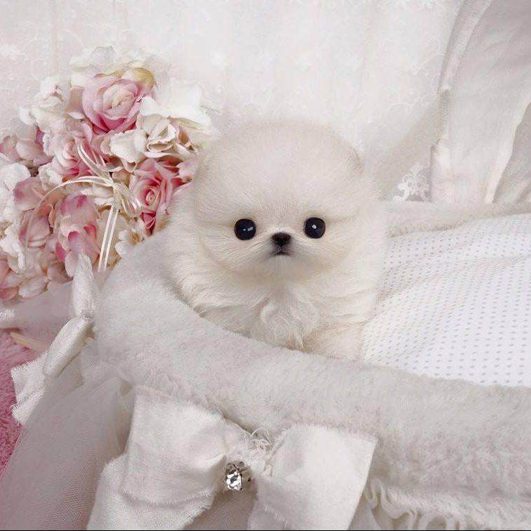 Stella Micro Pomeranian for Sale