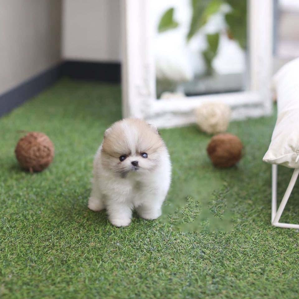Nugget Micro Pomeranian for Sale
