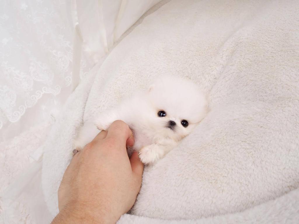 Hudson Micro Pomeranian for Sale