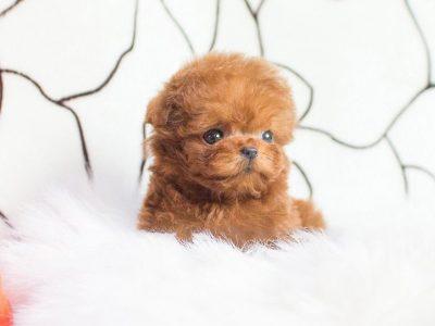 Cooper RedMicro Poodle