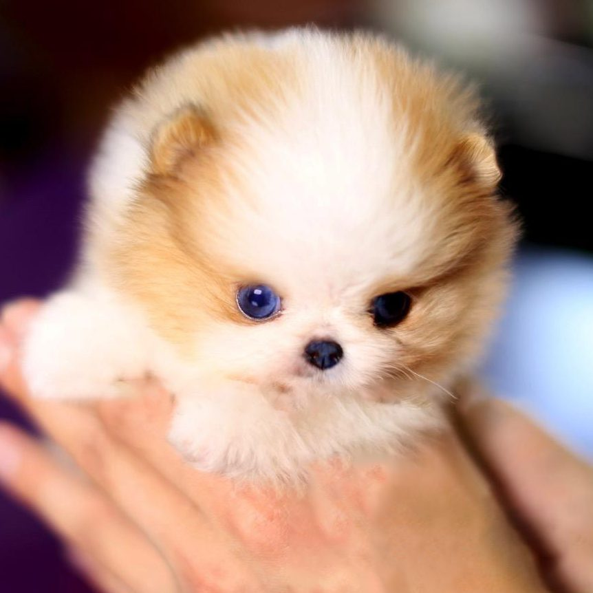 John Micro Pomeranian for Sale