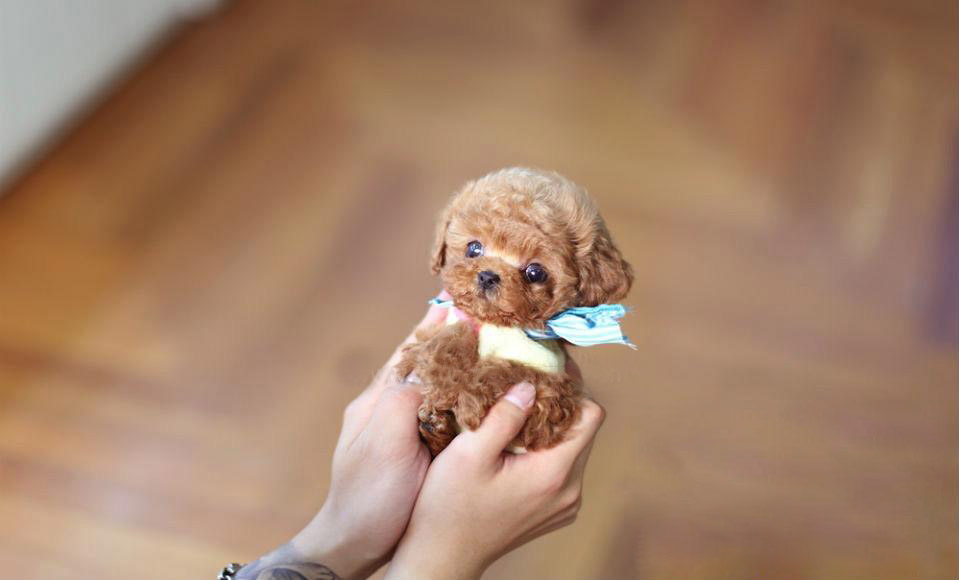 Julian Micro Poodle for Sale