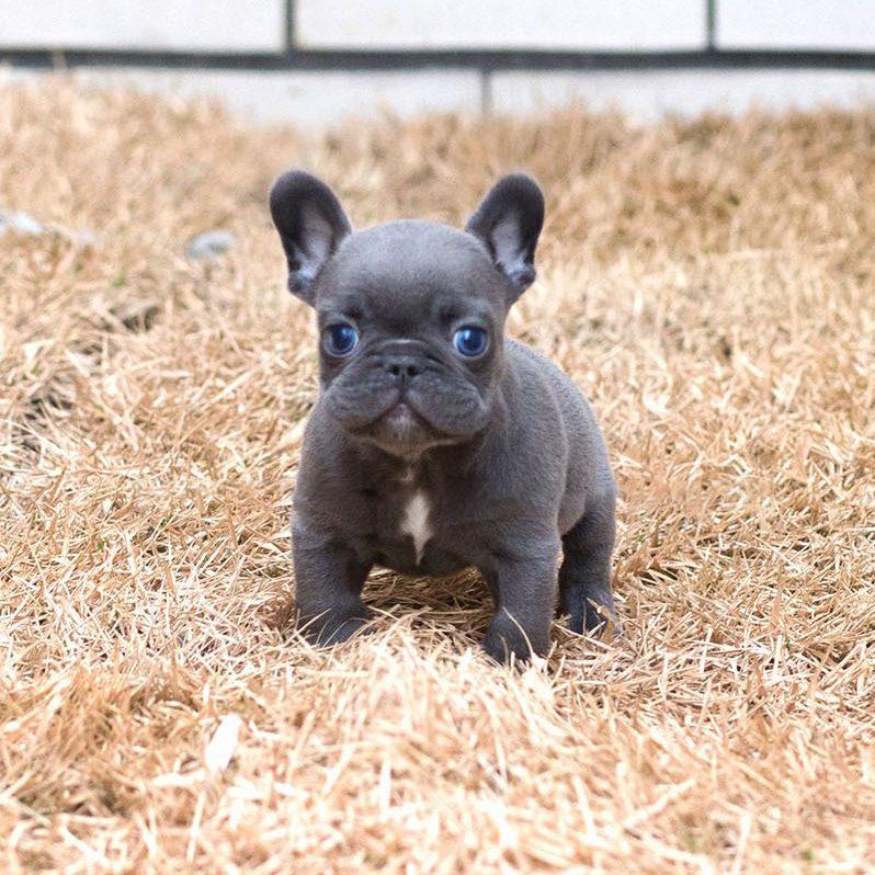 Logan Teacup French Bulldog for Sale