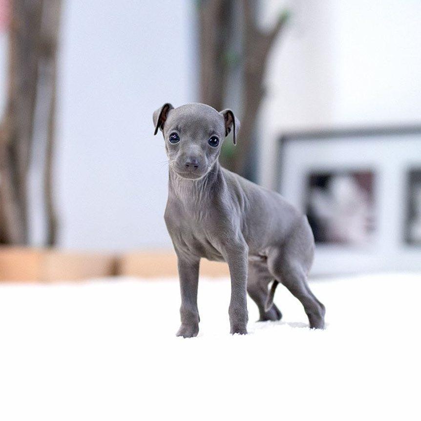 Milano Teacup Italian Greyhound for Sale