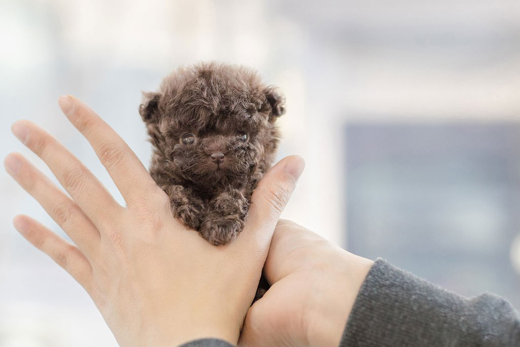 Bowzer Micro Poodle for Sale