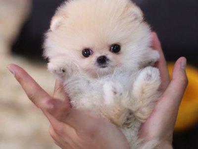 Pixie CreamMicro Pomeranian
