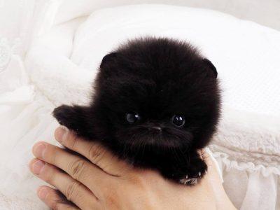 Roman BlackMicro Pomeranian