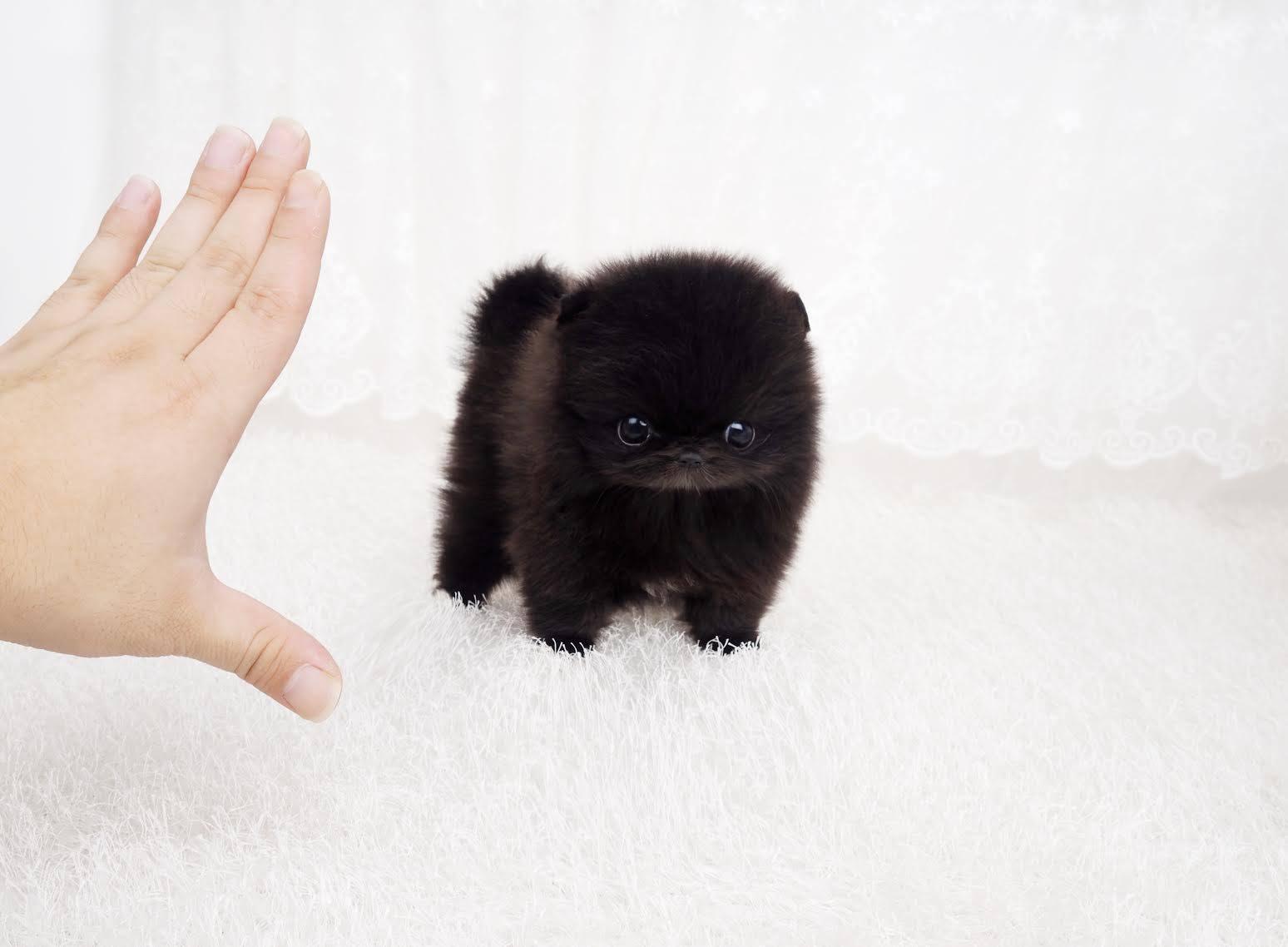 Roman Micro Pomeranian for Sale