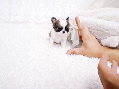 Cookie ChocolateMicro Chihuahua