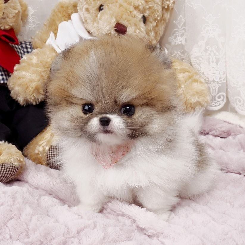 Nigel Micro Pomeranian for Sale