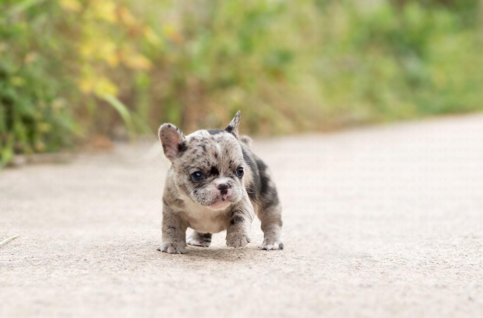 Harper Teacup French Bulldog for Sale