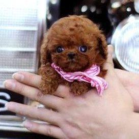Caeser RedMicro Poodle
