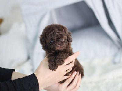 Isaac ChocolateMicro Poodle