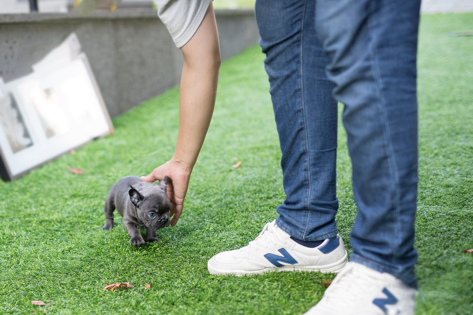 Carter Teacup French Bulldog for Sale