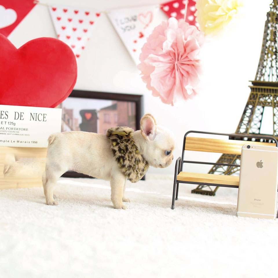 Fenty Teacup French Bulldog for Sale