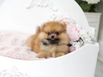 Olivia OrangeMicro Pomeranian